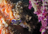 Juvenile Florida Regal Sea Goddess