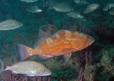 Red Grouper leading the way on our dive