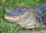 Alligator near my home