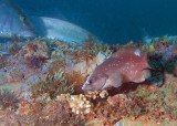 Whitespotted Soapfish