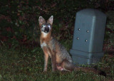 Young gray fox in my yard