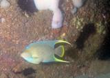Townsend Angelfish