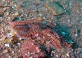 P9100115 Red Tip Fireworm