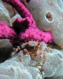 P9100181 Mithrax Crab