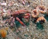 Crab, Mithrax Sculptus