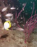 Spotfisn Butterflyfish