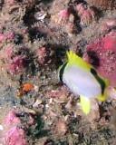 Spotfin Butterflyfish juvenile