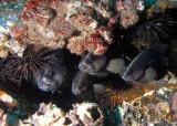 Whitespotted Soapfish