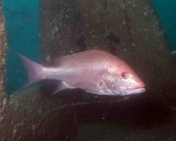 Red Snapper--the one that got away