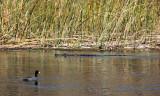 IMG_4092 coot alligator.jpg