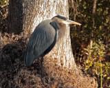 IMG_4325 great blue heron.jpg