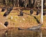 IMG_4429 vultures alligator.jpg