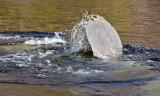 IMG_4447 manatee tail.jpg