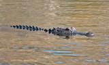 IMG_4477 alligator.jpg