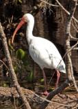 IMG_4527 ibis.jpg