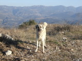 This is a young Kangal dog--a Turkish breed used for guarding the flocks from wolves.  They get very large.