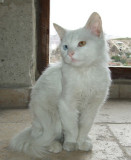 Goreme: Here is the company--a Turkish Van cat with one blue and one green eye.