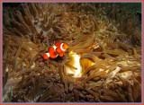 Yet Another Anemone Fish