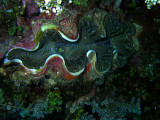 It's A Giant Clam