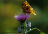 IMGP0438 Butterfly on Thistle.jpg