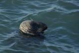 Seal in Bullock Harbour, Dalkey
