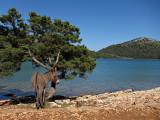 Dugi Otok - donkey at the Salt Lake, Telašćica
