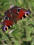 Butterfly, near Enniskerry