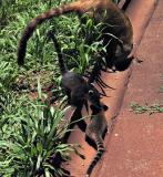 Coati family, Iguazu (Brazil)