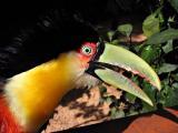 Toucan, Bird Park, Iguazu (Brazil)
