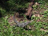 Lizard, Iguazu - Macuco Trail