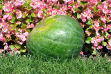 DUWAYNE BURNSIDE AUTOGRAPHED WATERMELON