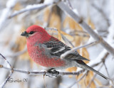 Nov2008MalePineGrosbeak.jpg