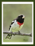 Aug2009RoseBreastedGrosbeak.jpg