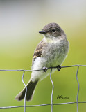 flycatcher2.jpg