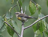YellowRumpedWarbler.jpg