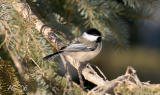 feb20chickadee2-after copy.jpg