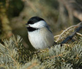 mar4chickadee.jpg