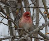 purplefinch3.jpg
