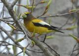 EveningGrosbeak2.jpg