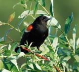redwingedblackbird.jpg