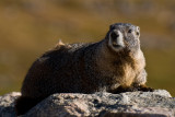 Yellow-bellied Marmot on Mount Evans
