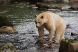 Spirit Bear (a sub-species of the black bear) in BC, Canada
