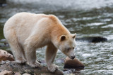 Spirit bear. He looks so cute when he's looking in the water for the salmon.