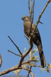 Gray lourie or go away bird