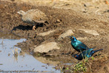 Greater Blue-Eared Starling with a Natal Francolin in the background  (ID courtesy of KayeN)