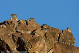 Rock dassies or Rock Hyrax, (Procavia capensis) .  Look how many there are!