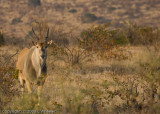Eland - they are huge