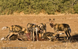 Wild dogs eating warthog.