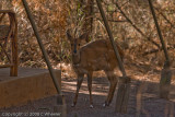 a bush buck right at our tent!
