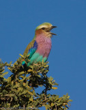 It's hard to pass by a Lilac Breasted Roller without stopping.  You can see this one's tongue.
